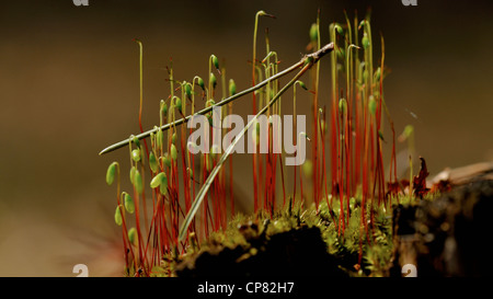 Beautiful moss sporophytes growing on the old tree stump - Stock Photo