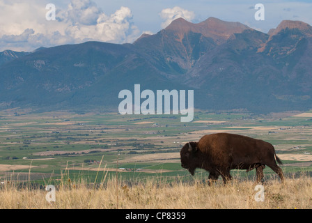 A young bison bull (Bison bison)has a nice view of the Mission Valley as he walks along a ridge, National Bison - Stock Photo