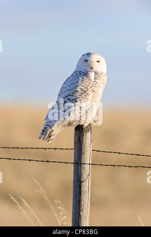 Snowy Owl perched on a fence post in Western Montana - Stock Photo