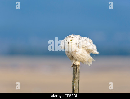 A snowy owl fluffs up his feathers while perched on a wooden fencepost, Polson, Montana - Stock Photo