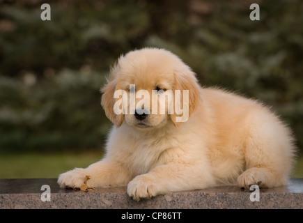 Golden retriever puppy lying on granite bench - Stock Photo