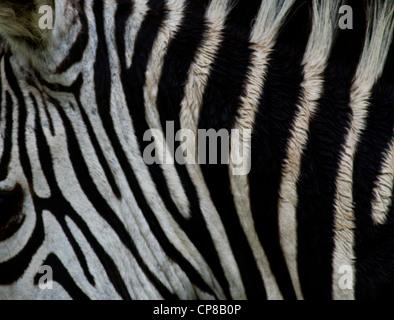 Close up detail of Burchell's Zebra (Equus quagga burchelli) (aka Plains Zebra) in Lake Mburo National Park, Uganda - Stock Photo