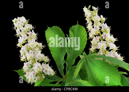 Inflorescence of the European chestnut background. Isolated on black. - Stock Photo