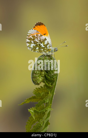 Orange-tip butterfly, male, Anthocharis cardamines, Yorkshire, May - Stock Photo