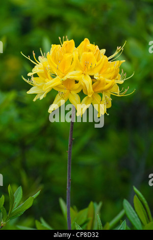 Yellow Azalea (Rhododendron luteum) growing wild, Lesvos, Greece - Stock Photo