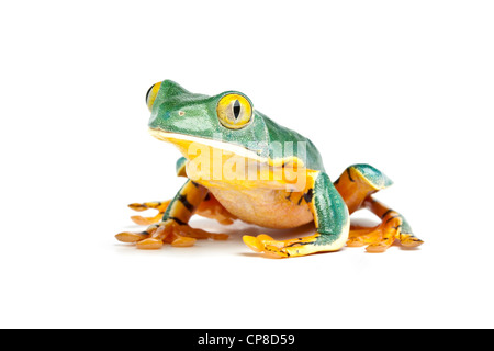 Splendid leaf frog, Cruziohyla calcarifer, Costa Rica Stock Photo