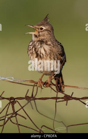 Singing Crested Lark (Galerida cristata), Lesvos, Greece - Stock Photo