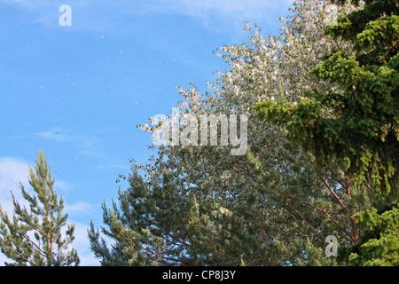 Poplar fluff drifting from trees in spring. - Stock Photo