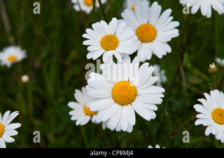 A group of oxeye daisies (Leucanthemum vulgare) growing on a road verge in Belvedere, Kent. May. - Stock Photo