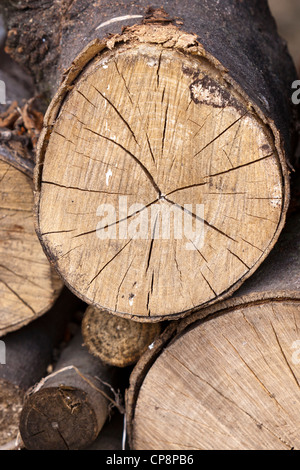 Growth rings and radial splits on the end of a log - Stock Photo