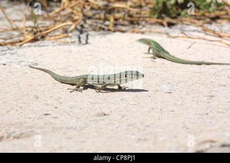 Ibiza wall lizard (Podarcis pityusensis), Majorca Island, Spain - Stock Photo
