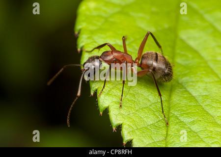 A Ferruginous Carpenter Ant (Camponotus chromaiodes) perches at the edge of a leaf. - Stock Photo