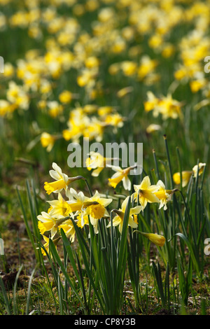 Wild daffodils [Narcissus pseudonarcissus] growing in field, 'Gwen and Vera's' [Nature Reserve], Gloucestershire, - Stock Photo