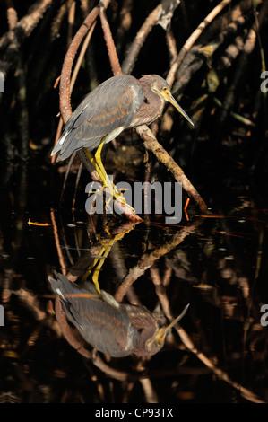 Tricoloured heron (Egretta tricolour), Ding Darling NWR, Sanibel Island, Florida, USA - Stock Photo