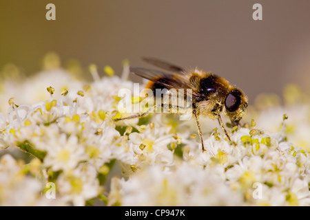 Narcissus bulb fly ( Merodon Equestris ) - Stock Photo