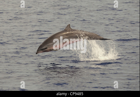 Fraser's Dolphin (Lagenodelphis hosei) or Sarawak Dolphin, leaping out of the sea, The Maldives - Stock Photo