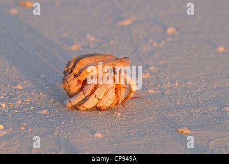 Strawberry land Hermit Crab on beach at sunset, The Maldives - Stock Photo