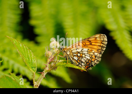 Heath Fritillary Butterfly (Mellicta athalia) at rest, Kent, UK - Stock Photo