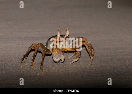 Horned or Horn-eyed Ghost Crab (Ocypode ceratophthalmus) on beach at night, The Maldives