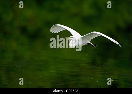 Great egret (Casmerodius albus, Ardea alba, Egretta alba) in flight Audubon Rookery, Venice FL - Stock Photo