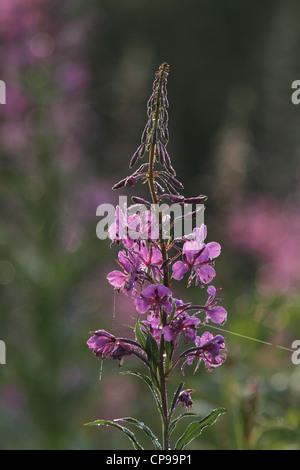 Backlit Fireweed (Epilobium angustifolium) also known as Great Willow-herb and Rosebay Willowherb - Stock Photo