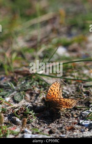 Niobe Fritillary (Argynnis niobe). Photographed at Bulbjerg in Denmark - Stock Photo
