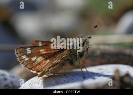 Silver-spotted Skipper (Hesperia comma) resting on the ground - Stock Photo
