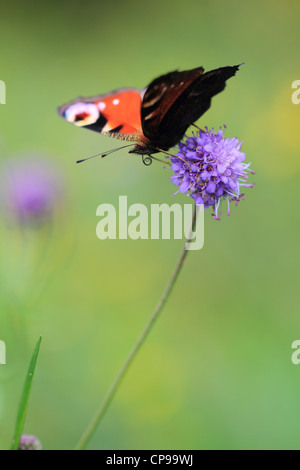 Peacock butterfly (Inachis io) resting on a wildflower. - Stock Photo