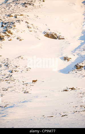 Red Deer high on mountain slopes, Glen Clunie in winter, Cairngorms, Scotland, UK - Stock Photo