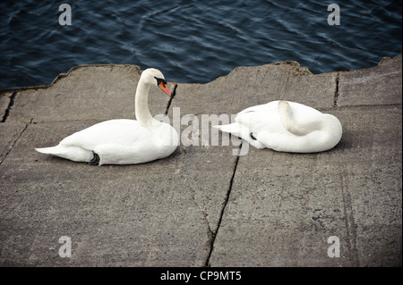 two Swans rest by the waters edge - Stock Photo