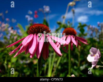 Echinacea Flowers - Stock Photo