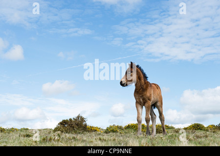 Dartmoor horse foal. Dartmoor national park , Devon, England - Stock Photo