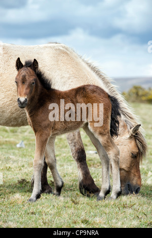 Dartmoor horse and foal. Dartmoor national park , Devon, England - Stock Photo