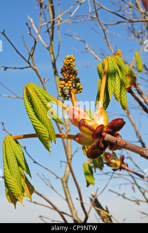 Leaves and flower of Horse Chestnut Aesculus hippocastanum bursting from sticky bud. Showing horse shoes, leaf scars. - Stock Photo