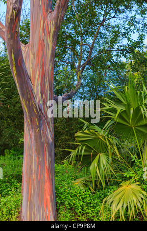 Rainbow Eucalyptus on the island of Maui, Kawaii - Stock Photo