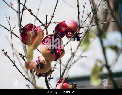 Pomegranate fruit on tree with red seeds bursting out - Stock Photo