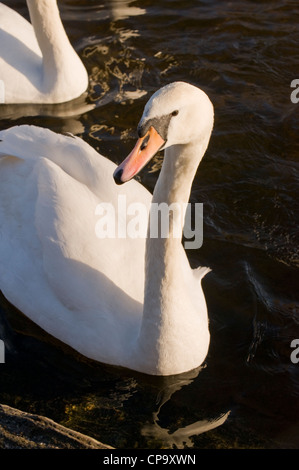 Partial front view of two adult mute swans (sunlit white feathers) swimming on rippling water - River Wharfe, Otley, - Stock Photo