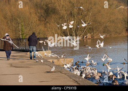 Man feeding birds with gulls, swans & ducks flying, swooping, swimming, flocking round him (woman walks by) - River - Stock Photo