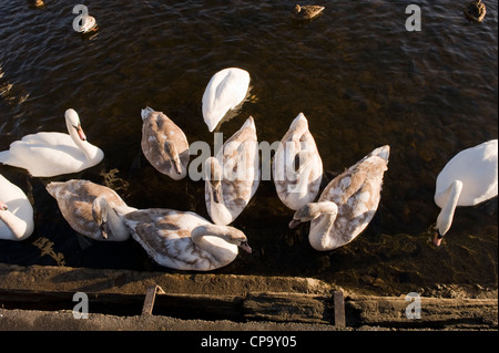 Flock of mute swans swimming on water by riverbank, adults & juveniles together (high viewpoint) - River Wharfe, - Stock Photo