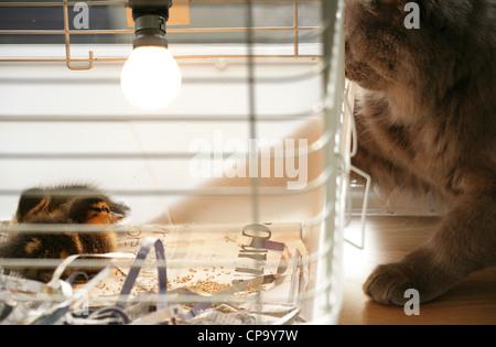 Mallard Anas platyrhynchos Two juvinilles sitting in a cage Studio, UK - Stock Photo