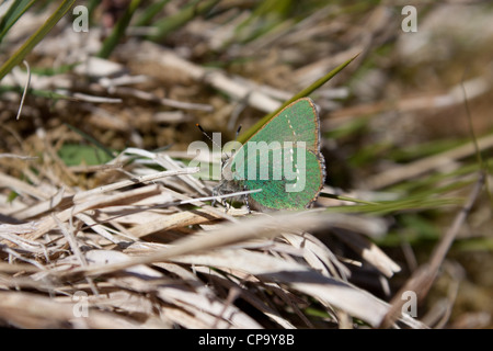 Green Hairstreak Callophrys rubi butterfly - Stock Photo
