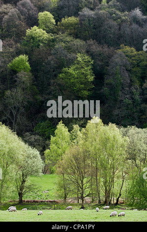 Trees coming into leaf in the Wye Valley Area of Outstanding Natural Beauty - Stock Photo