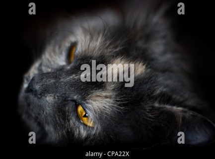Beautiful portrait of a grey cat on a dark background - Stock Photo