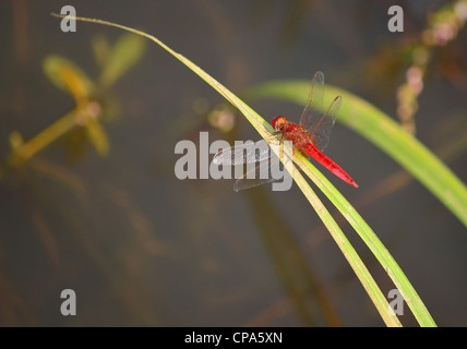 Red dragonfly / Crocothemis erythraea - Stock Photo