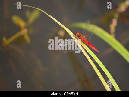 Red dragonfly / Crocothemis erythraea