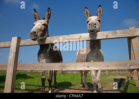 two Donkeys looking over fence Norfolk Farm in summer - Stock Photo