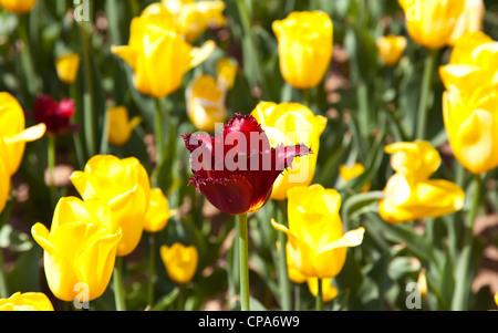 Dark red tulip among yellow tulips in spring - Stock Photo