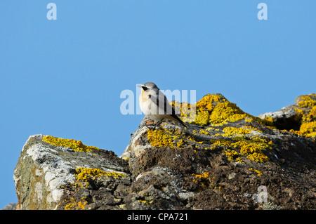 Northern Wheatear (Oenanthe oenanthe), male - Stock Photo