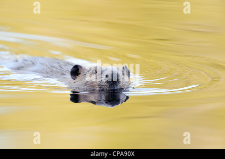 Beaver (Castor canadensis) in Autumn reflected waters, Grand Teton National Park, Wyoming - Stock Photo