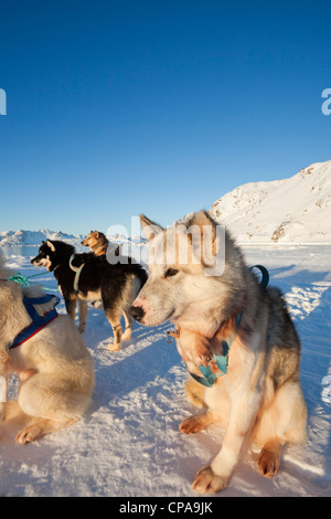 Pack of huskies resting in Greenland - Stock Photo